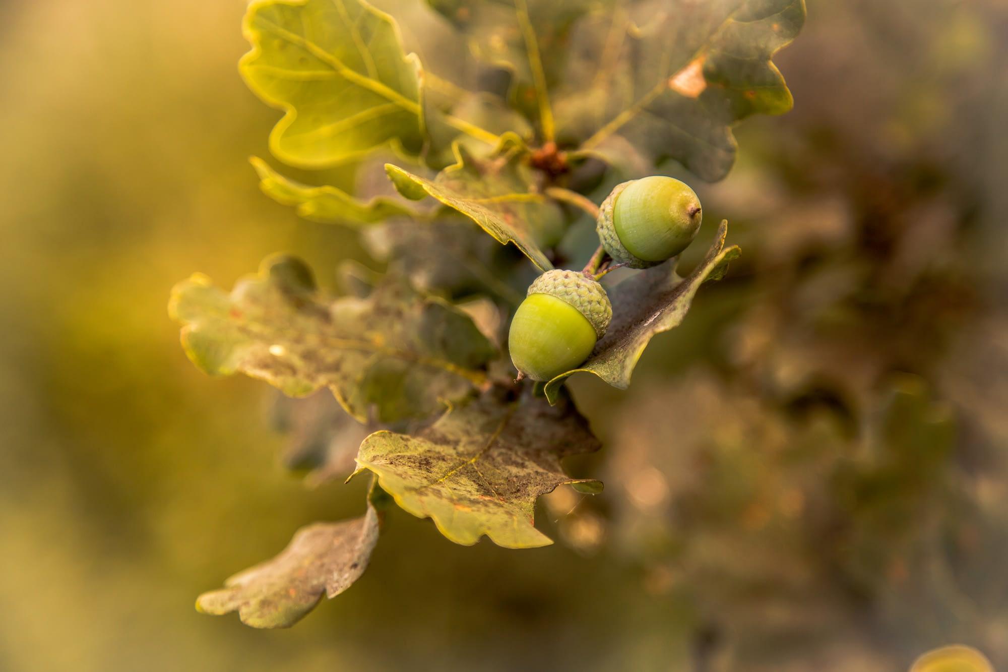 Fruit de chêne gland par Stéphane Thirion photographe